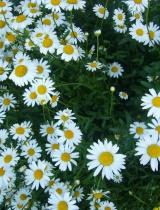Margrietas, pļavu